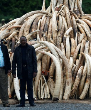 Kenyan President Uhuru Kenyatta (right) and chairman of the Kenyan Wildlife Service (KWS) Richard Leakey (left) pose for the press after the president lit on fire parts of an estimated 105 tonnes of ivory and a tonne of rhino horn confiscated from smugglers and poachers at the Nairobi National Park near Nairobi, Kenya, April 30, 2016. REUTERS/Siegfried Modola